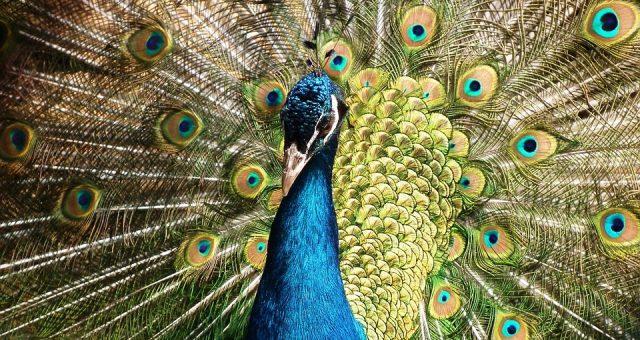 peacock-377748_960_640