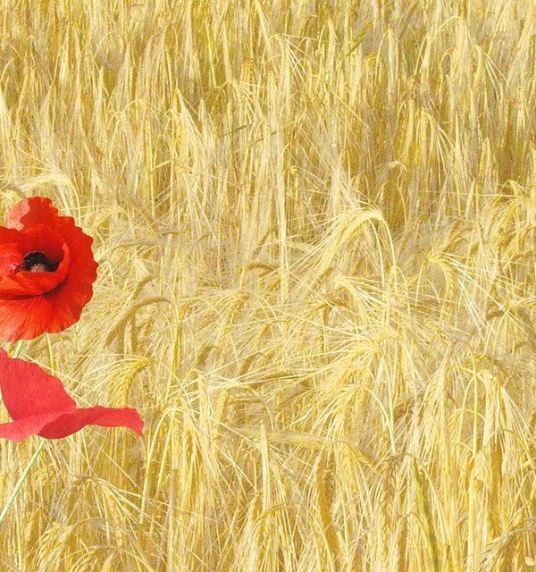 red-poppy-143484_960_640